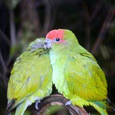 Украшенный попугай краснолобый - плохо обучаемый вид