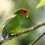 Украшенный попугай краснолобый - редкий вид