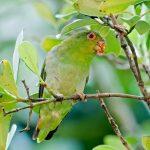 Украшенный попугай краснолобый - содержание