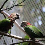 Веерные попугаи - игривый вид