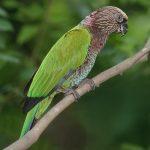 Веерные попугаи - красивый вид