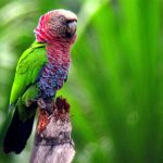Веерные попугаи - особенности вида