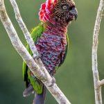 Веерные попугаи - содержание