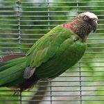 Веерные попугаи - уход