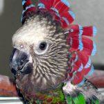 Веерные попугаи - умный вид