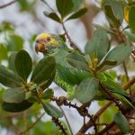 Желтобрюхий попугай - дружелюбный вид