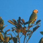 Желтобрюхий попугай - не поддается обучению речи