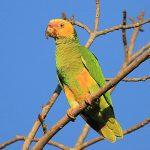 Желтобрюхий попугай - необычный вид