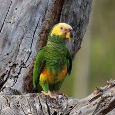 Желтобрюхий попугай - содержание