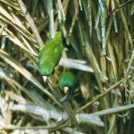 Зеленые воробьиные попугайчики - тихий вид