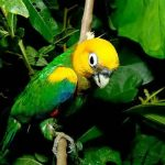 Златоголовый украшенный попугай - спокойный вид