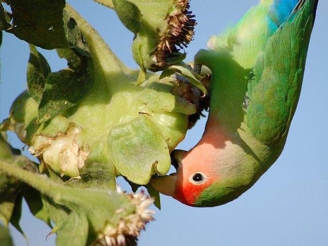 Чем кормить попугая неразлучника