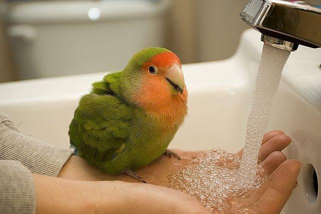 Попугаи неразлучники - содержание и уход