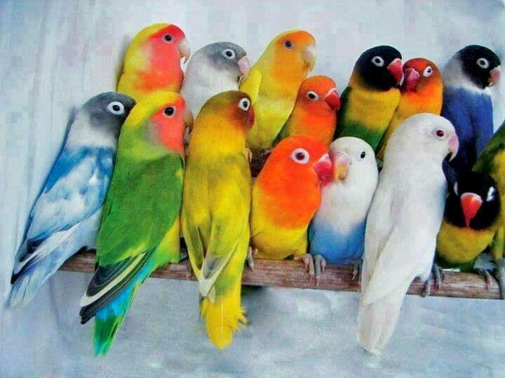 Попугаи неразлучники - выбор попугая