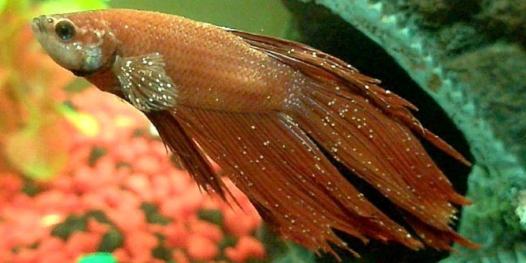 Ихтиофтириоз у рыб: причины, симптомы