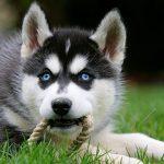Собаки породы хаски обожают играться