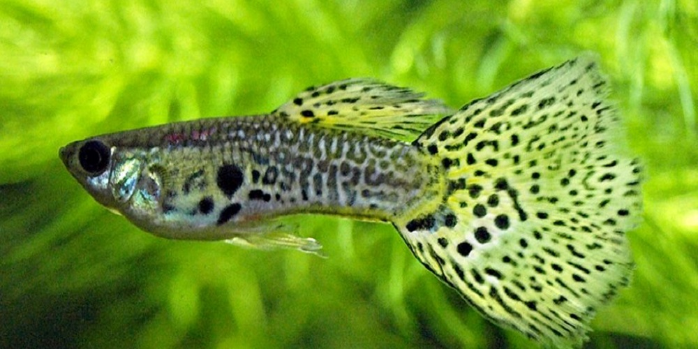 Домашний аквариум: гуппи