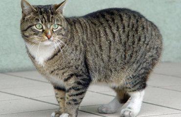 мэнская порода кошек