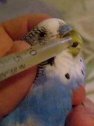 Как вылечить попугая в домашних условиях от раны thumbnail