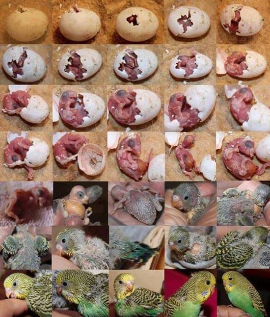Стадии развития птенца волнистого попугая