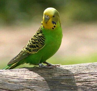Простейшие у попугаев