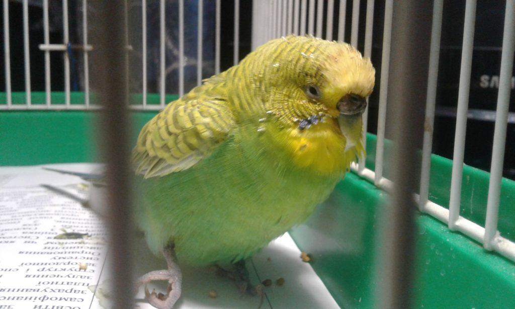 Как вылечить лапу волнистому попугаю
