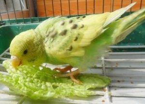 чем питаются попугаи в домашних условиях