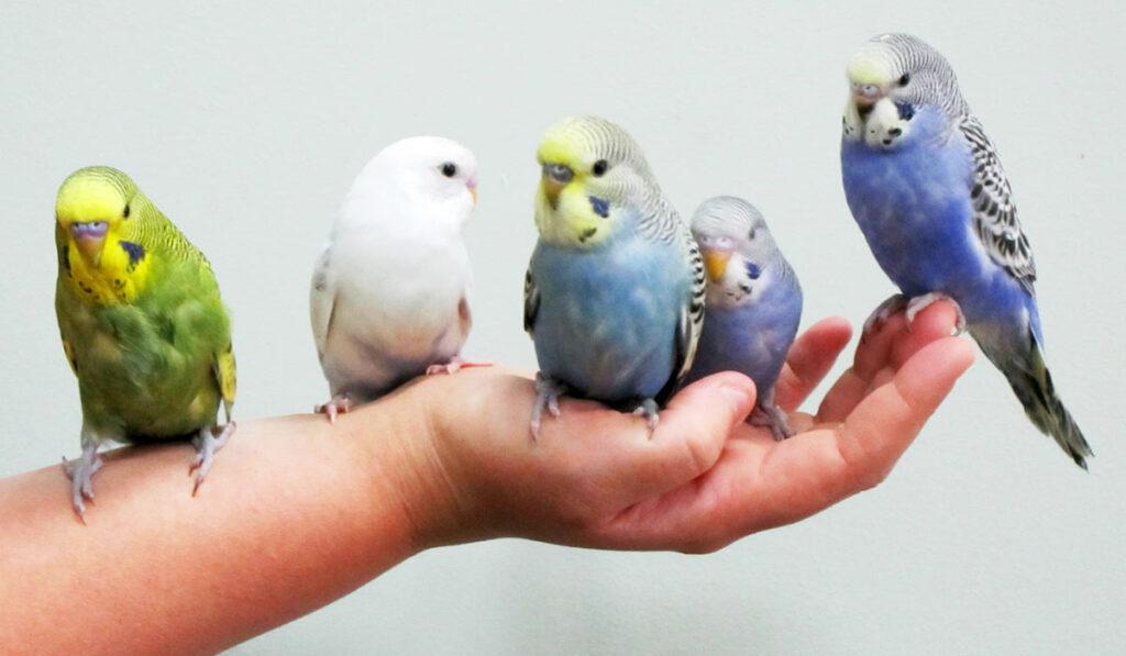 Волнистые попугаи сидят на руке фото