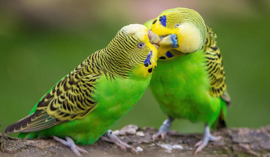 Пара волнистых попугаев фото