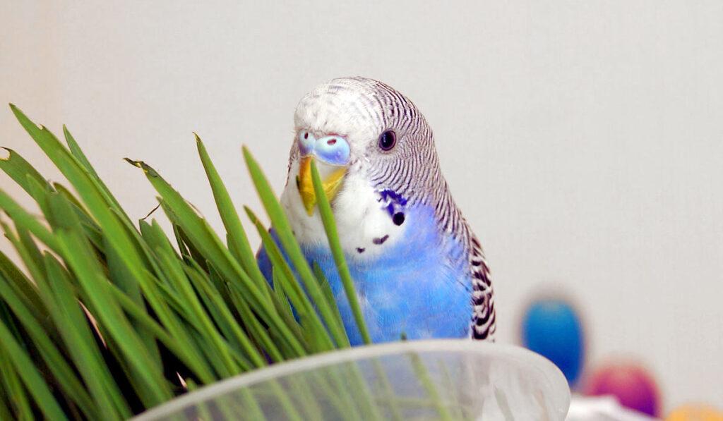 Подкормка попугая зеленью