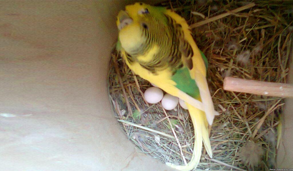 Самка волнистого попугая на кладке фото