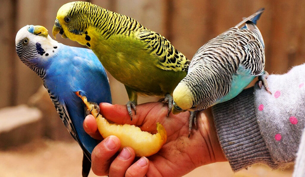 Волнистые попугаи едят фрукты фото