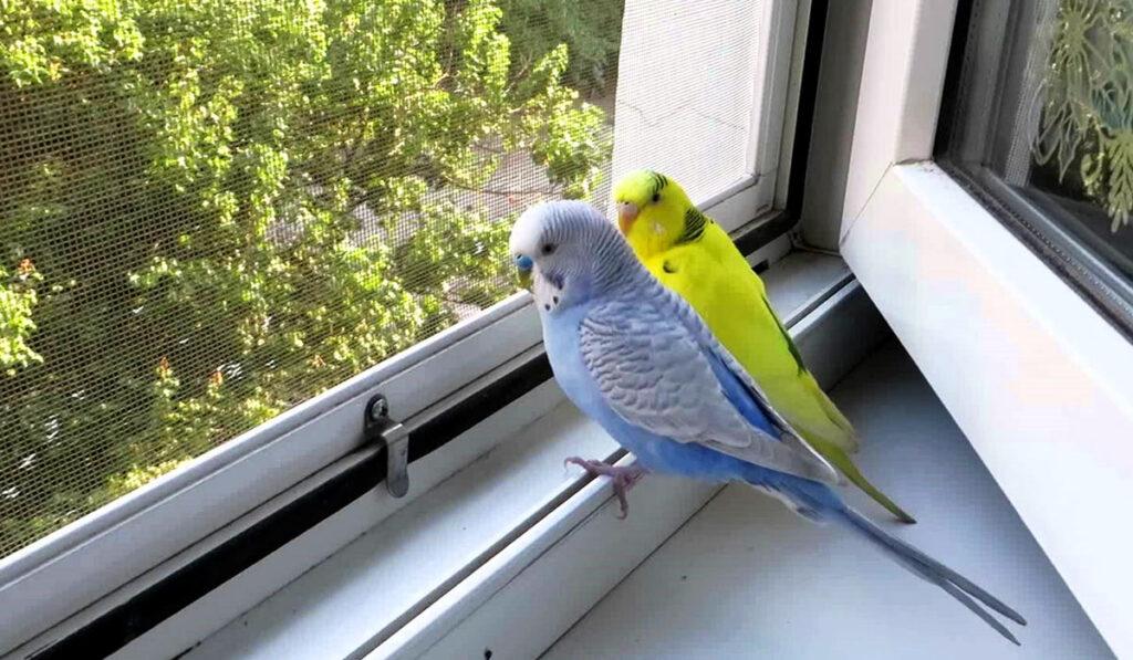 Волнистые попугаи на окне фото