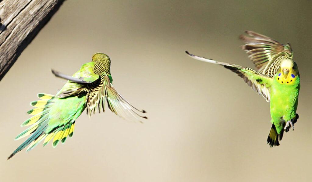 Волнистые попугаи в полете фото