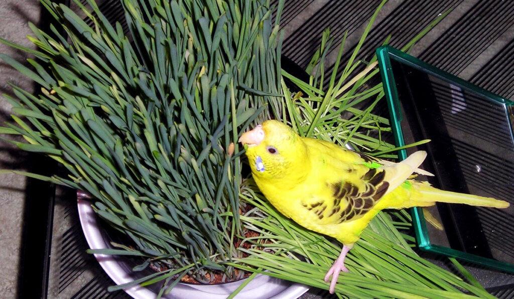 Волнистый попугай ест траву фото
