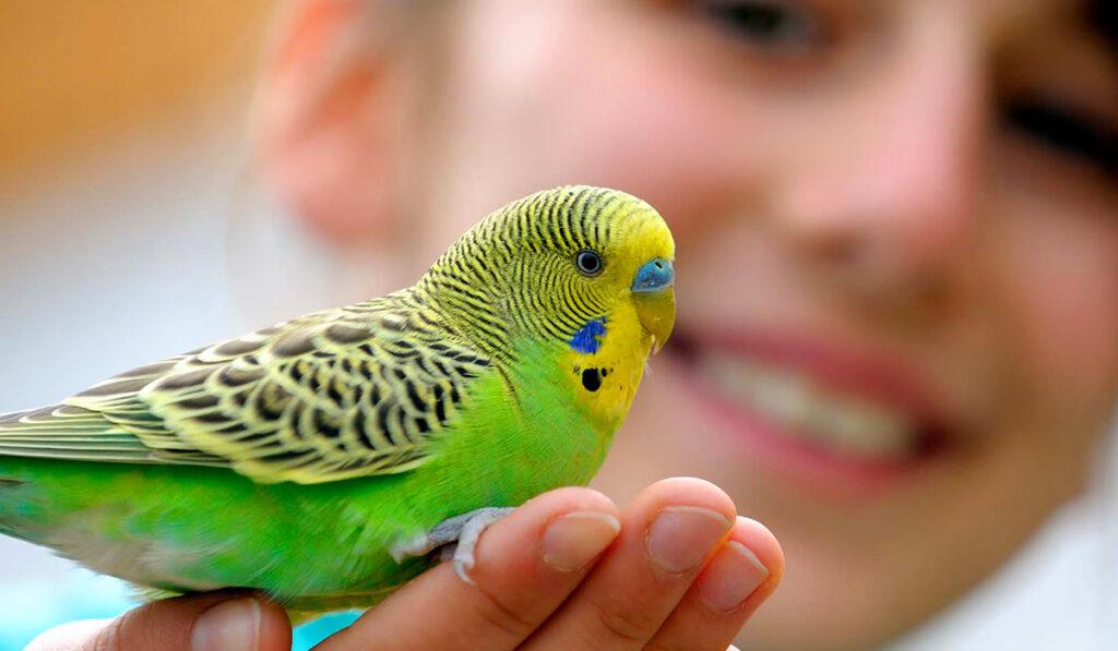 Волнистый попугай и человек фото