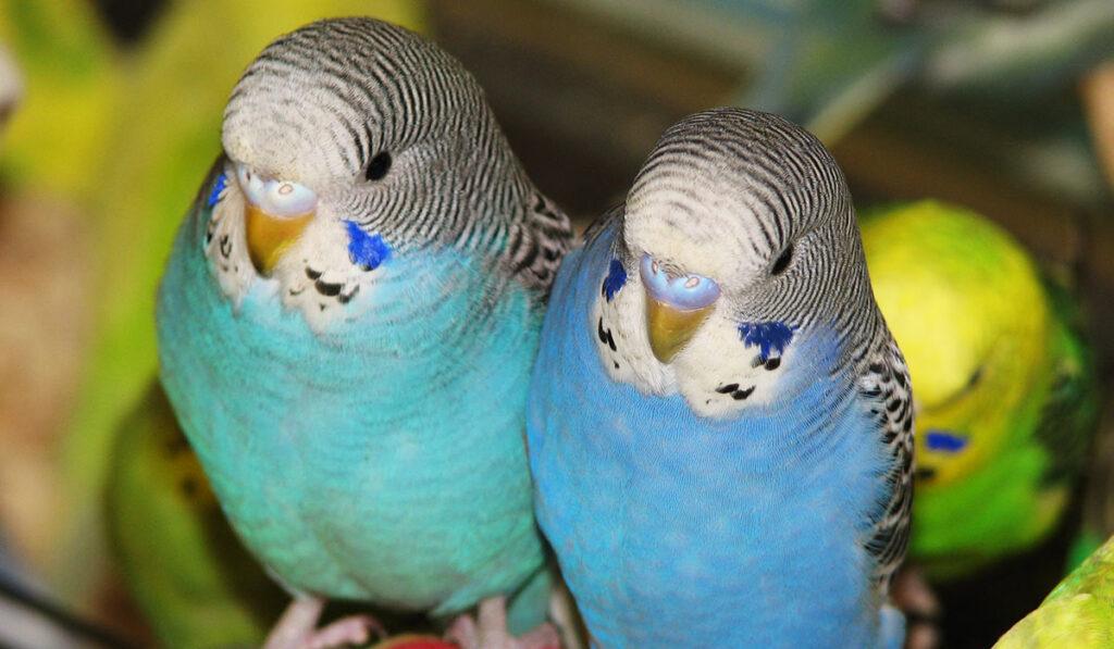 Волнистый попугай мальчик и девочка фото