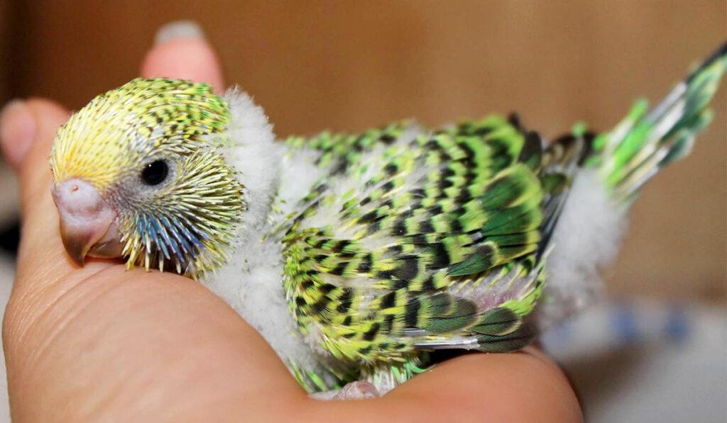 Волнистый попугай птенец фото