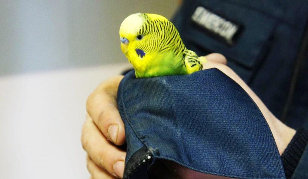 Волнистый попугай замерз фото