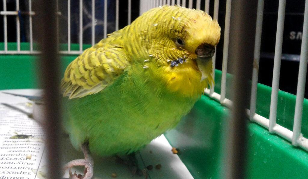 Больной попугай фото