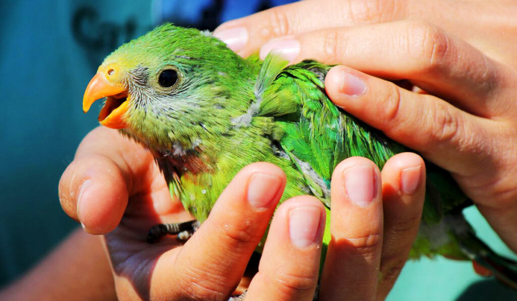 Как поймать попугая фото