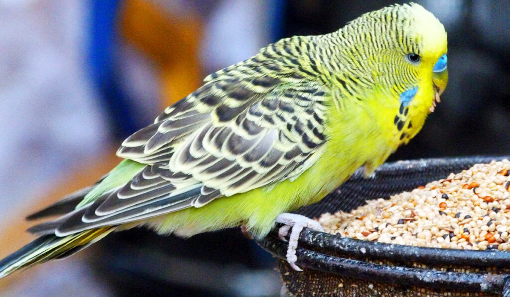 Попугай ест из кормушки фото