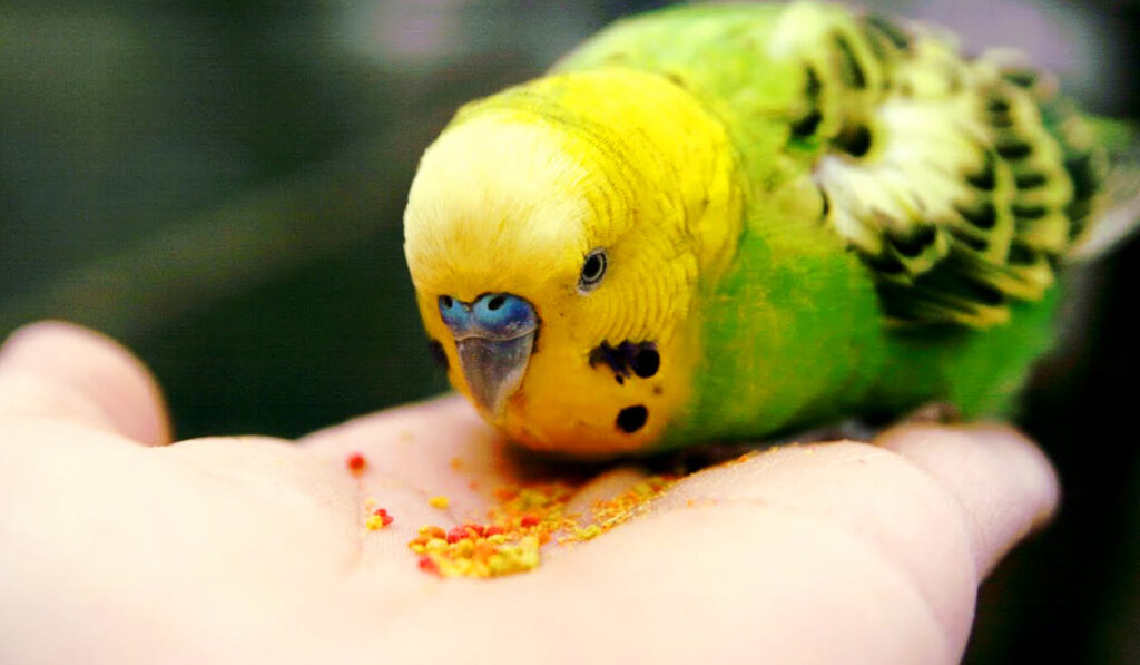 Попугай ест витамины фото