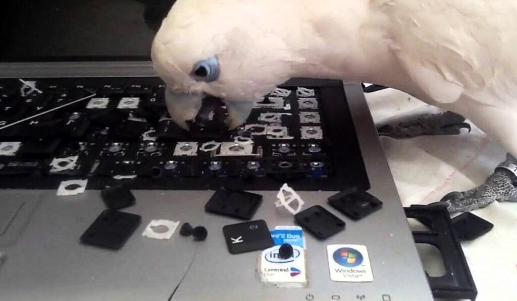Ппопугай грызет ноутбук фото