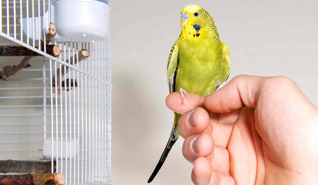 Волнистого попугая выпускают из клетки фото