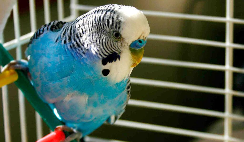 Волнистый попугай в клетке фото