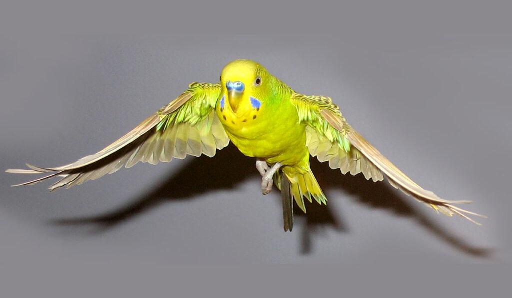 Волнистый попугай в полете фото