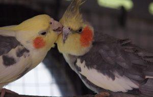 кореллы целуются