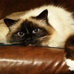 Бирманская кошка лежит на диване