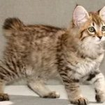 котенок американского боба